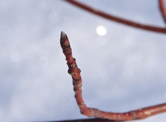ミズキの冬芽