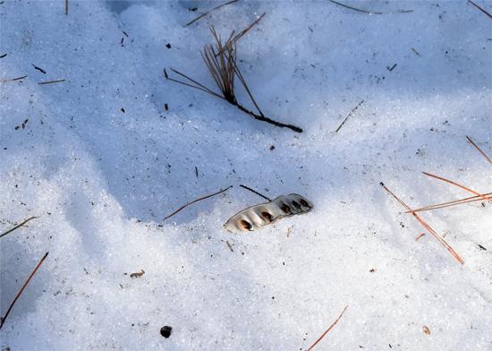 雪解けから現れた種