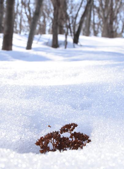 雪の中から現れたアジサイ