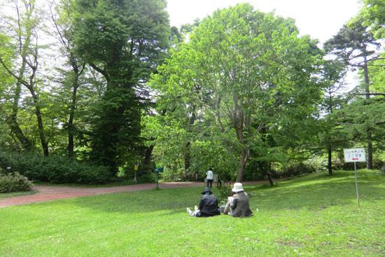 北大植物園のハンカチの木