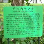 ハンカチノキは北大植物園でも