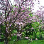 雨が降って桜も濃い色