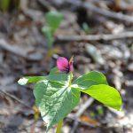 日だまり公園の春の植物 エンレイソウ
