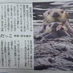昔ラッコは北海道の海で羅臼昆布を巻いていた?