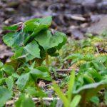 変形菌は林の中の不思議な生き物