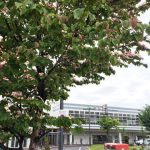 手稲駅前の花咲くハマミズキに似た花はヤマボウシ