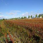 刈り取りあとの赤い帯は蕎麦畑