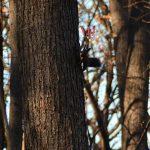木になったつもりのエゾリス