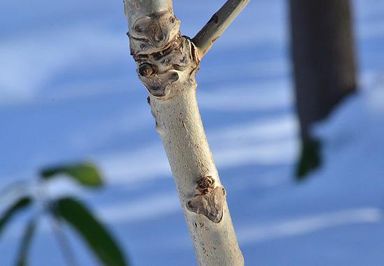 クルミの葉痕