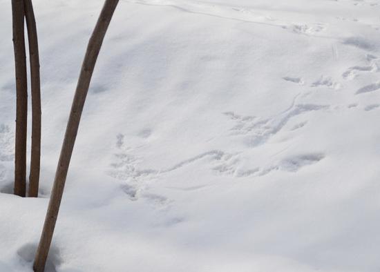 エゾリスの足跡