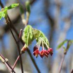 雄と雌、不思議な組み合わせハウチワカエデの花