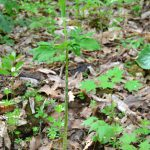 マムシ草の雌は虫を逃がさず餌食にする