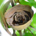 スズメバチの巣 作り始めから20日間の記録
