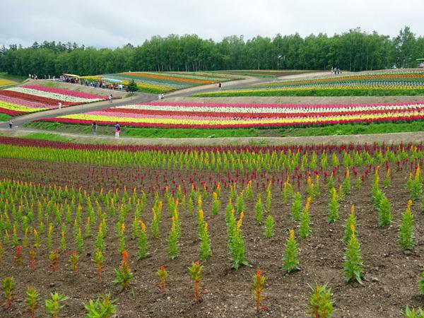 美瑛 色彩の丘