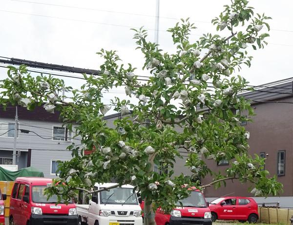 豊平区にあるリンゴ並木