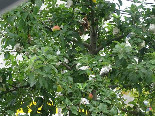 札幌市豊平区のリンゴ並木