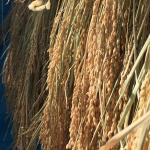 お米を取り出す『脱穀機』と『とうみ』