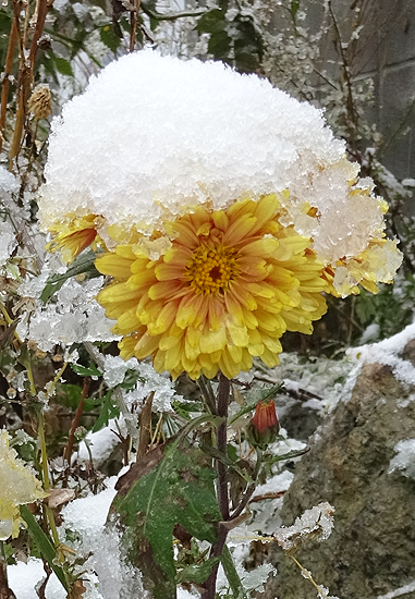 雪をかぶった菊