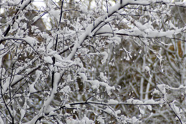 木についた雪