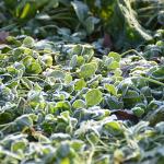 草に霜がつきました