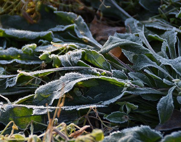 草に付いた霜