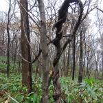 ツタ植物は木を死なせても這い上がって光を取る