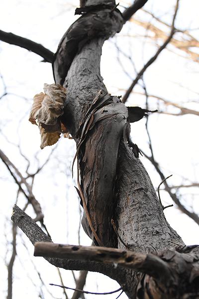木に巻き付いたヤマブドウのツル