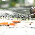 道産子カタツムリのエゾマイマイは殻を動かすスゴイヤツだった