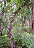 ツルに巻かれた木