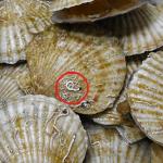 ホタテ貝にミミズみたいに付いているものはカサネカンザシ