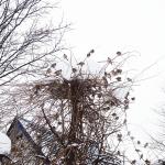 スズメのねぐら冬は丸見えだけど