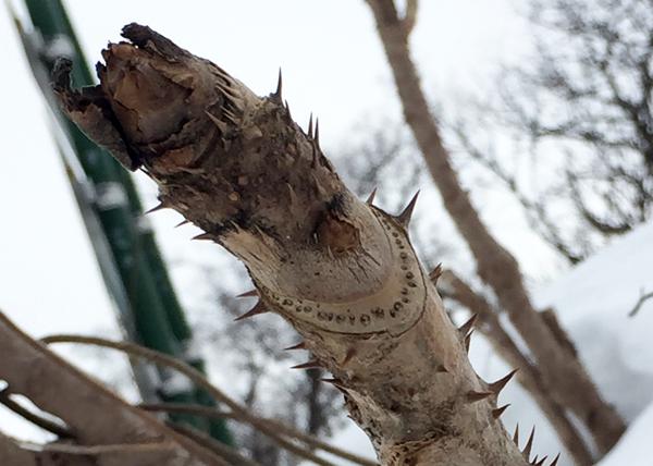 タラの木の葉痕