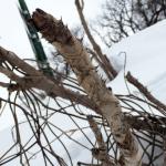 春まだ遠いタランボの木