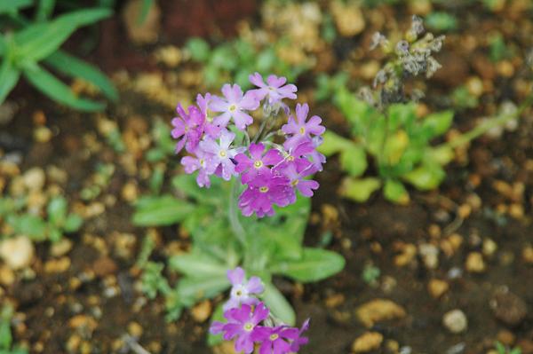 礼文島で7月ころに見られる花