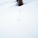 雪の上のエゾリスの足跡