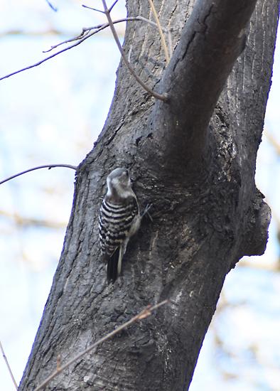 キツツキは尾羽の三点確保で抜群の安定力