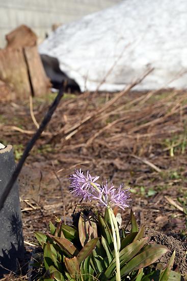 雪解け 畑の花