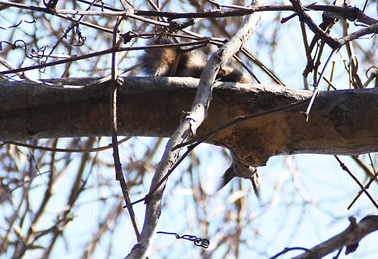 春、半年ぶりのエゾリスは下からのぞき見?