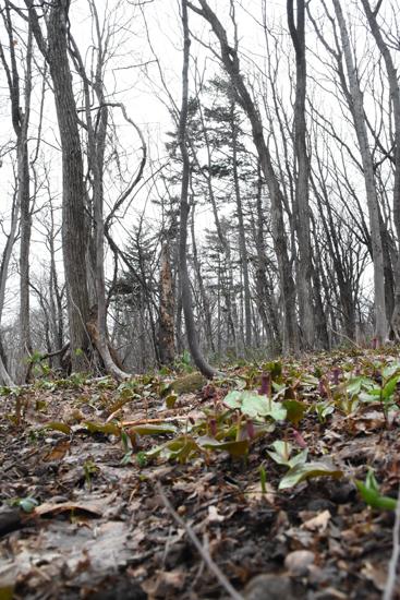 北海道の林も遅い春の花が咲き始めました