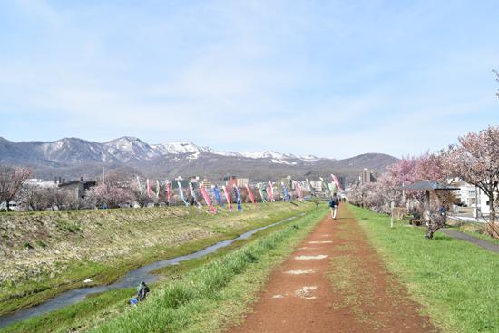 手稲山とこいのぼりと桜