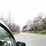 富良野の桜の道 東大演習林をドライブ