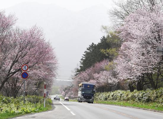 東大演習林の桜