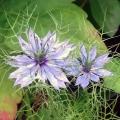 ニゲラ(クロタネソウ)の花