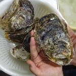 ブランド牡蠣『夏輝』は因幡の白うさぎの鳥取県