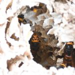 落ちたスズメバチの巣の住人たち