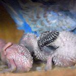 羽根が羽管を通って生える様子がインコのヒナだとわかりやすい