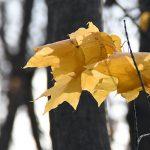 手稲山は雪景色 木々の葉は力尽き
