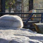 ホッキョクギツネは短い手足や鼻先で-70度でも平気 旭山動物園
