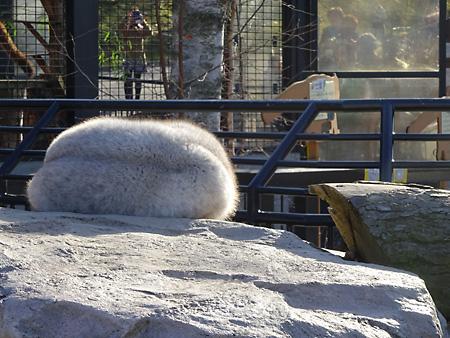 旭山動物園ホッキョクギツネ