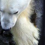 旭山動物園でホッキョクグマの おなかの秘密を知りました